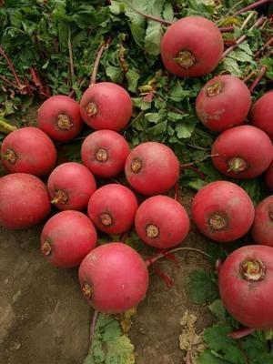 吉林省长春市绿园区大红袍萝卜 1.5~2斤