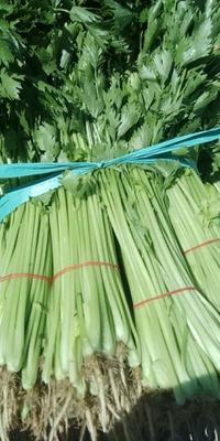 江苏省南通市港闸区香芹 40~45cm 大棚种植 0.5斤以下