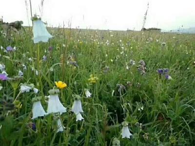 新疆维吾尔自治区伊犁哈萨克自治州尼勒克县混合蜂花粉 24个月以上