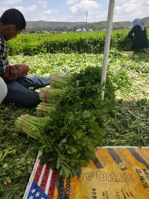甘肃省定西市安定区毛芹 50~55cm 露天种植 0.5~1.0斤