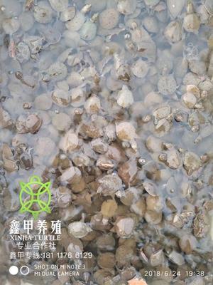 四川省遂宁市蓬溪县中华鳖苗