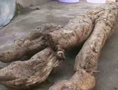 辽宁省丹东市凤城市野生葛根 4.5斤以上