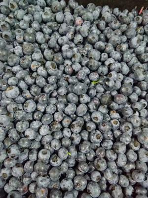 黑龙江省伊春市友好区北陆蓝莓 鲜果 8 - 10mm以上