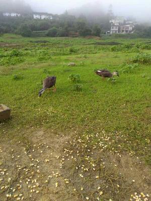 广西壮族自治区桂林市荔浦县斑嘴鸭 2-3斤