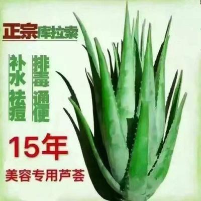 河南省周口市淮阳县库拉索芦荟 20cm以上