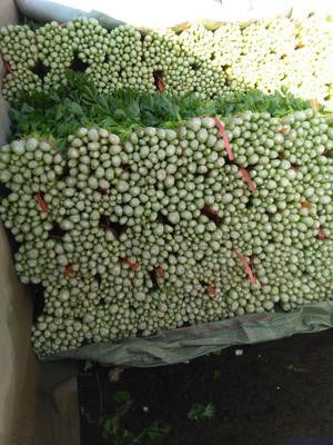 甘肃省定西市安定区毛芹 50~55cm 露天种植 0.5斤以下