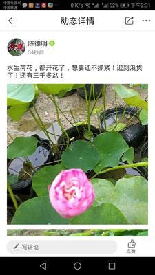 江苏省宿迁市沭阳县荷花 50~60cm