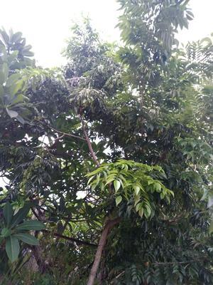 海南黄花梨 3.5~5米