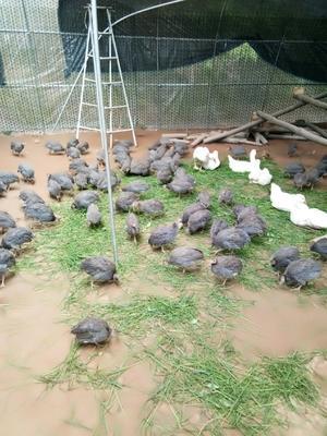 湖南省长沙市浏阳市灰色珍珠鸡 2-4斤