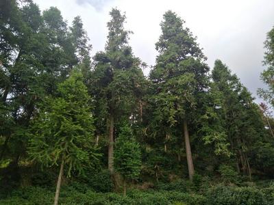 贵州省黔南布依族苗族自治州都匀市杉木