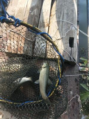 江西省宜春市樟树市池塘草鱼 人工养殖 0.05龙8国际官网官方网站