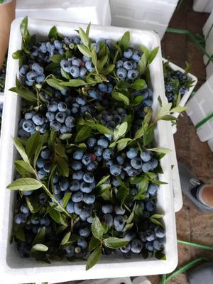 吉林省吉林市蛟河市美登蓝莓 鲜果 2 - 4mm以上