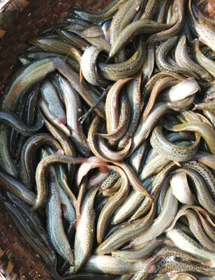 四川省达州市达川区台湾泥鳅 35尾/龙8国际官网官方网站 15cm以上 人工养殖