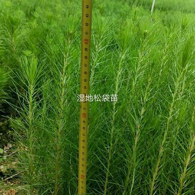 广东省湛江市遂溪县湿地松容器苗