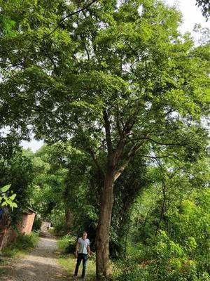 江西省赣州市南康区丛生朴树