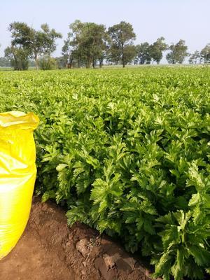 河北省张家口市康保县美国文图拉芹菜 60cm以上 露天种植 1.0~1.5斤