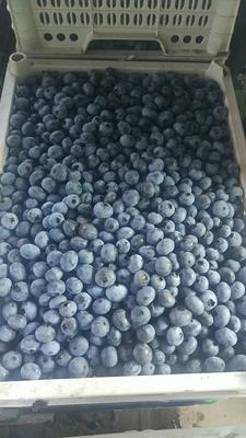 吉林省白山市靖宇县美登蓝莓 冻果 8 - 10mm以上