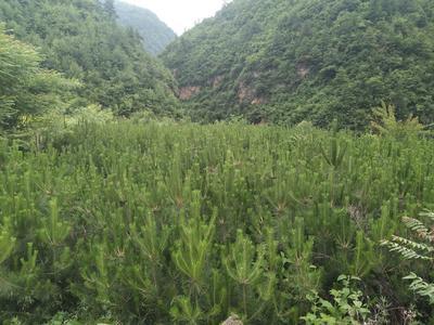 四川省阿坝藏族羌族自治州九寨沟县红皮松