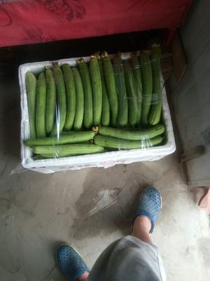 江苏省苏州市太仓市中绿丝瓜 20cm以上