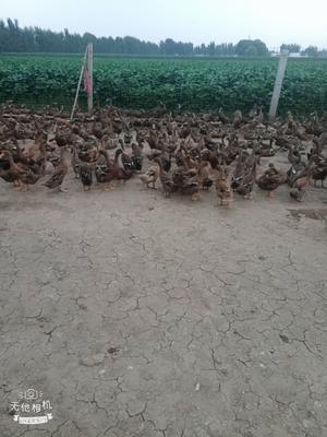 河南省新乡市辉县市金定鸭 2斤以下 母 半圈养半散养