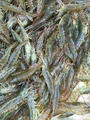 海南省儋州市儋州市中国对虾 人工殖养 2-4钱