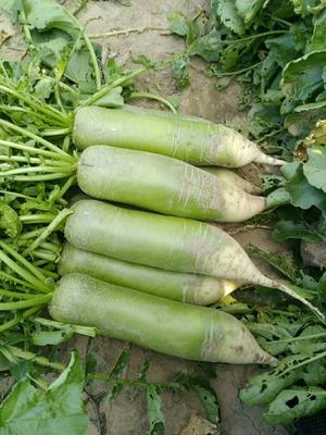 内蒙古自治区赤峰市松山区水果萝卜 1~1.5斤