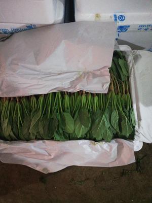 内蒙古自治区乌兰察布市兴和县大叶菠菜 20~25cm