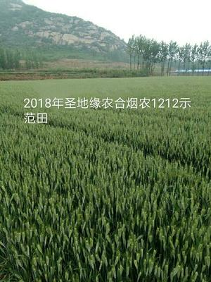山东省泰安市肥城市小麦种子