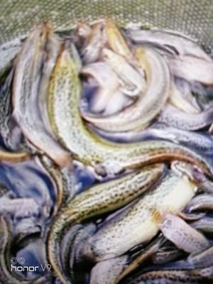 湖南省常德市石门县台湾泥鳅 35尾/龙8国际官网官方网站 10-15cm 人工养殖