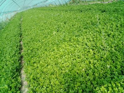 内蒙古自治区呼和浩特市和林格尔县香芹 55~60cm 大棚种植 0.5斤以下