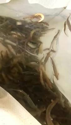 广西壮族自治区河池市宜州市台湾泥鳅 45尾/龙8国际官网官方网站 15cm以上 人工养殖
