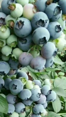 河南省南阳市宛城区蓝丰蓝莓 鲜果 4 - 6mm以上