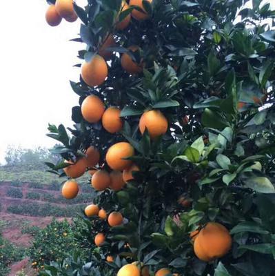 江西省赣州市瑞金市赣南脐橙 55 - 60mm 4两以下