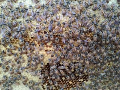 中蜂 土蜜蜂