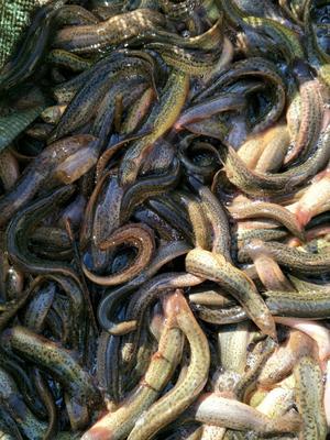 浙江省湖州市长兴县台湾泥鳅 50-60尾/龙8国际官网官方网站 8-10cm 人工养殖