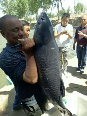 湖南省常德市安乡县淡水青鱼 人工养殖 10-18公斤