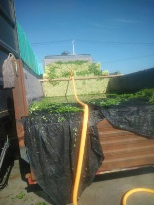 吉林省四平市梨树县法国皇后芹菜 55~60cm 露天种植 0.5斤以下