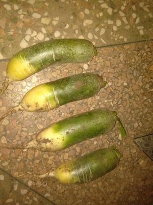 吉林省松原市长岭县水果萝卜 1.5~2斤