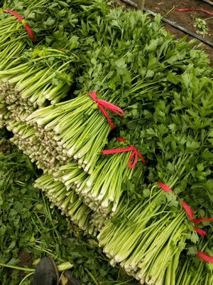辽宁省锦州市凌海市西芹 45~50cm 大棚种植 0.5斤以下