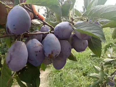 新疆维吾尔自治区喀什地区伽师县法兰西梅 20-25mm