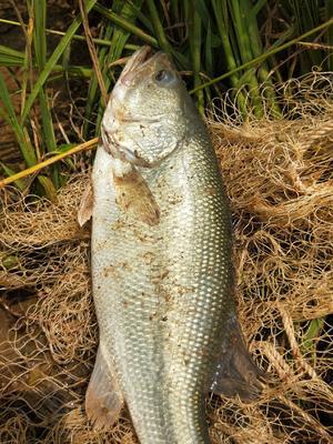湖北省荆门市掇刀区加州鲈鱼 人工养殖 0.5公斤以下
