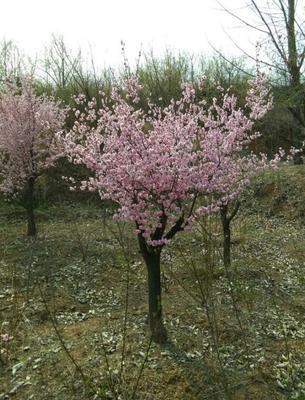 河南省驻马店市驿城区红花木槿树