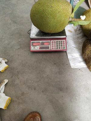 广东省茂名市高州市土菠萝蜜 15斤以上