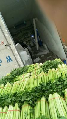 甘肃省定西市安定区西芹 65.0cm 露天种植 5.0斤