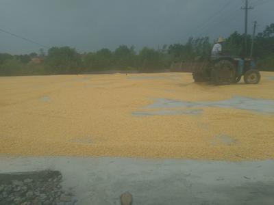 湖北省荆门市钟祥市玉米干粮 霉变≤1% 杂质很少