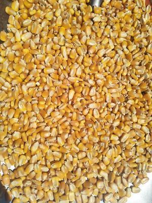 内蒙古自治区鄂尔多斯市东胜区玉米干粮 霉变≤2% 净货