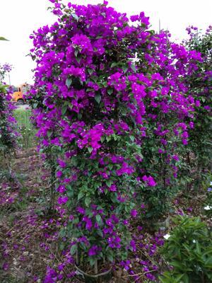 四川省宜宾市翠屏区紫花三角梅 1.5~2米