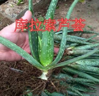 河北省邯郸市磁县库拉索芦荟 20cm以上