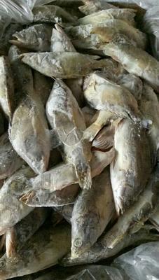 广东省佛山市顺德区翘嘴鳜 人工养殖 0.8斤-1.4斤