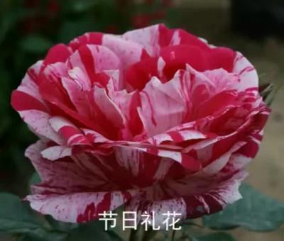 河北省石家庄市栾城区红色龙沙宝石月季